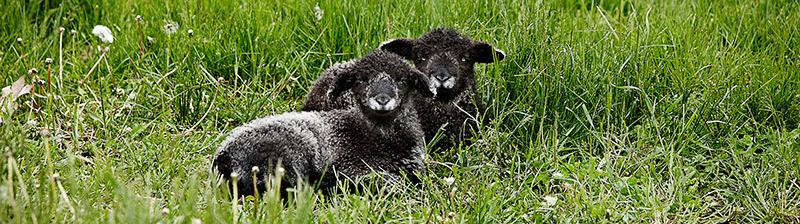 brendas-sheep-7
